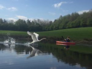 Swan taking off with kayak at Lochore