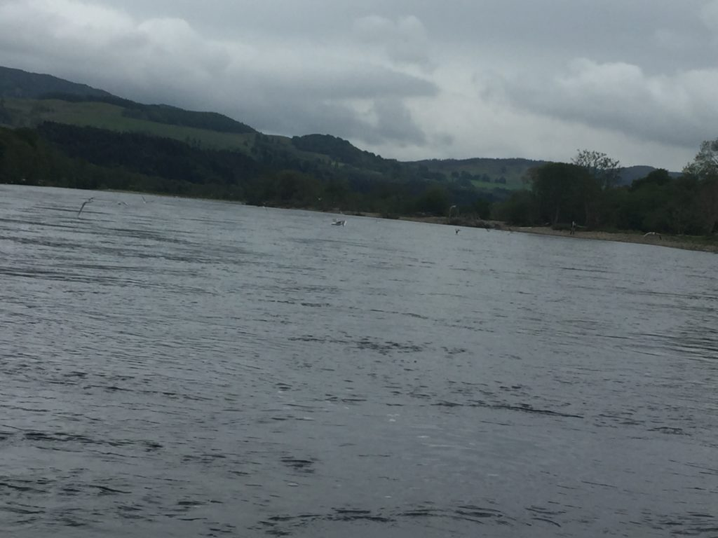 Seagulls swooping down to the River Tay to catch insects in the water